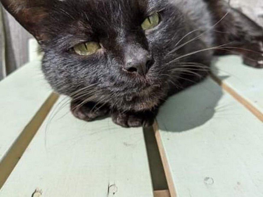 Un chat paralysé après avoir été touché par un tir de pistolet à air sera euthanasié