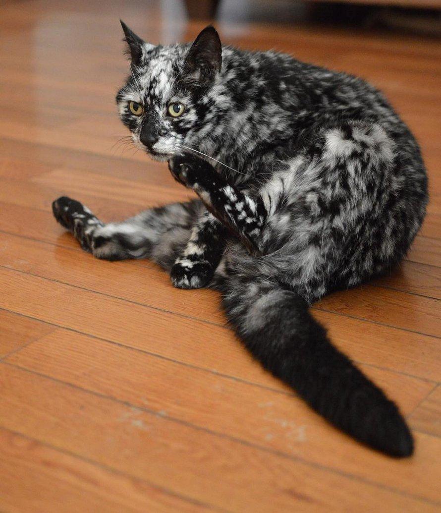 La robe de ce chat noir s'est transformée en un motif marbré noir et blanc à l'âge de 7 ans