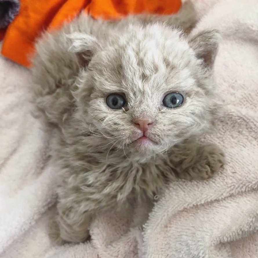 Ces chatons bouclés sont très différents de ceux que vous voyez normalement