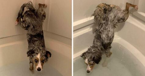 Ce chien refuse de se mouiller les fesses pendant l'heure du bain