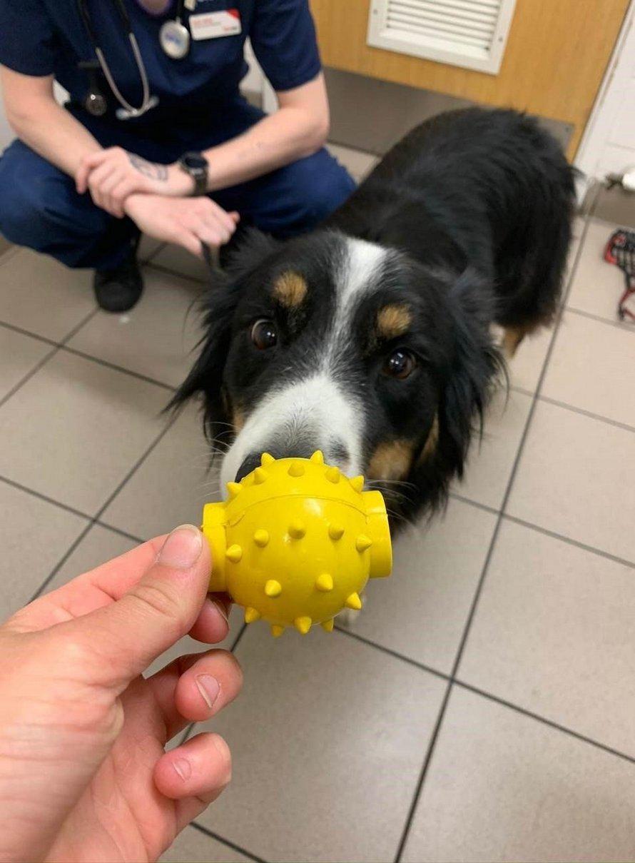 Un chien avale une balle et survit grâce à un trou au milieu du jouet