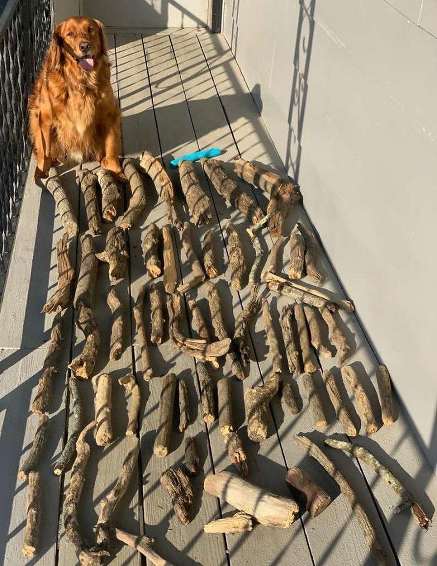 Ce chien montre à son père à quel point il est fier de sa collection de bâtons