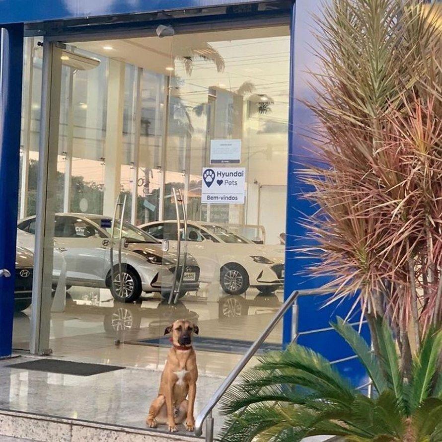 Un chien errant n'arrête pas de visiter un concessionnaire Hyundai, alors ils lui donnent un emploi et son propre badge