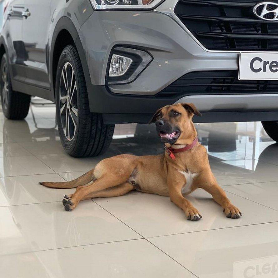Ce chien errant n'arrêtait pas de visiter un concessionnaire Hyundai, alors ils lui ont donné un emploi et son propre badge