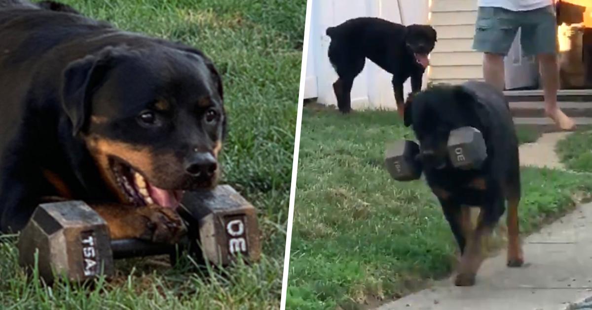 Ce chien musclé porte toujours un haltère partout où il va et ses photos sont vraiment drôles et adorables