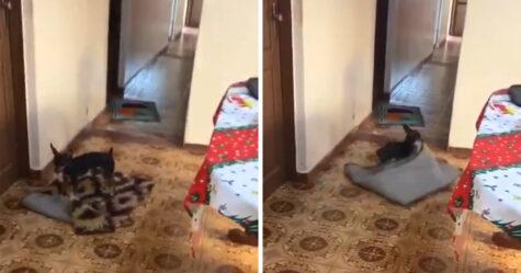 Cette gentille petite chienne déplace toujours les tapis afin de faire de la place pour le fauteuil roulant de grand-maman