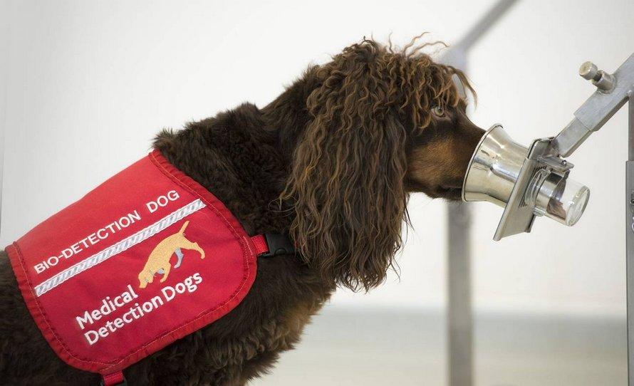 Des chiens détecteurs de coronavirus capables de détecter 92% des cas contrôlent les passagers de l'aéroport de Dubaï