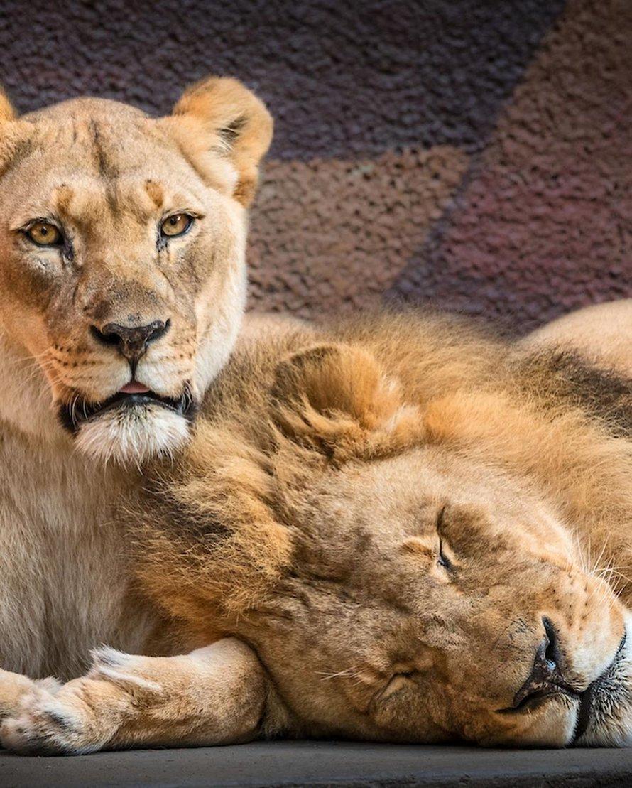 Un couple de lions âgés ont été euthanasiés en même temps pour ne pas vivre seuls l'un sans l'autre