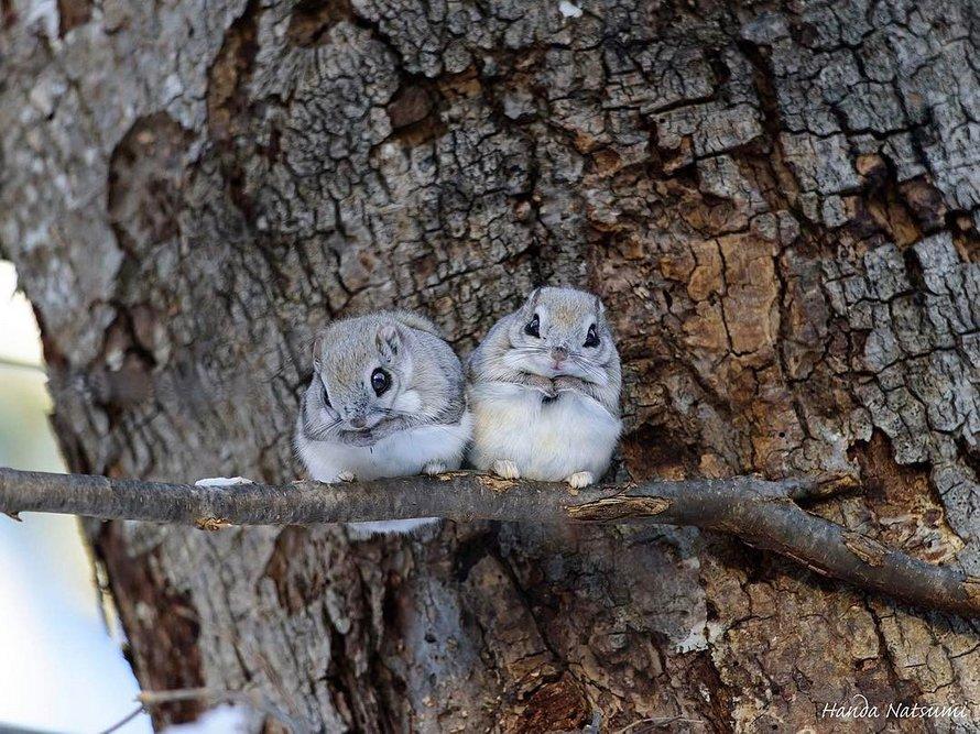 Ces petits écureuils qui ressemblent à des Pokémon ne peuvent être trouvés que sur des îles japonaises éloignées