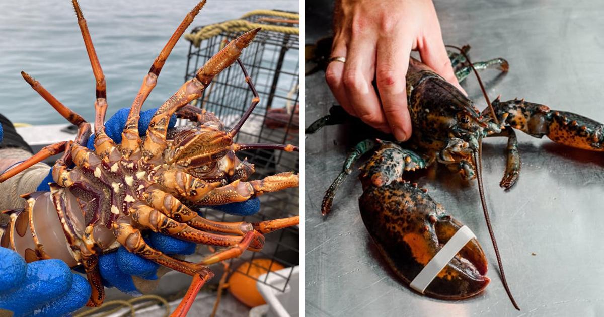Des preuves montrent que les homards souffrent lorsqu'ils sont bouillis vivants