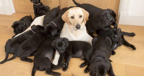 Un labrador jaune donne naissance à 13 chiots noirs