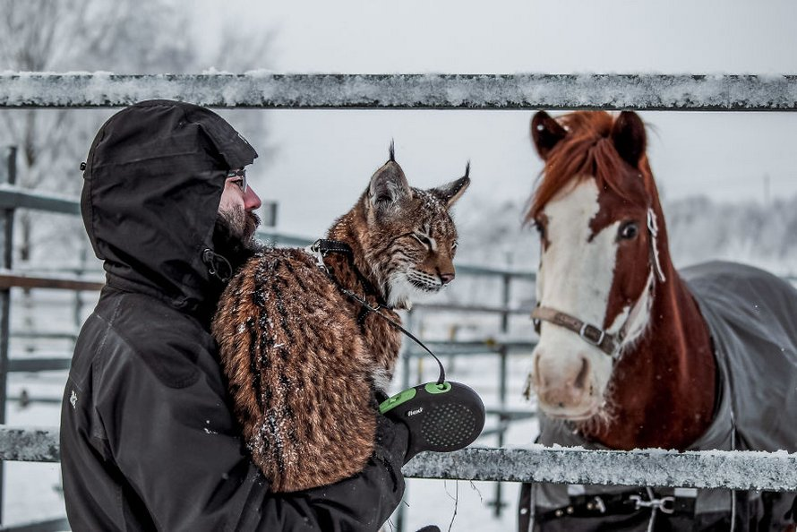 Une femme adopte deux lynx d'un élevage d'animaux à fourrure et vit maintenant avec 2 gros «chats», 8 chiens et 3 chevaux