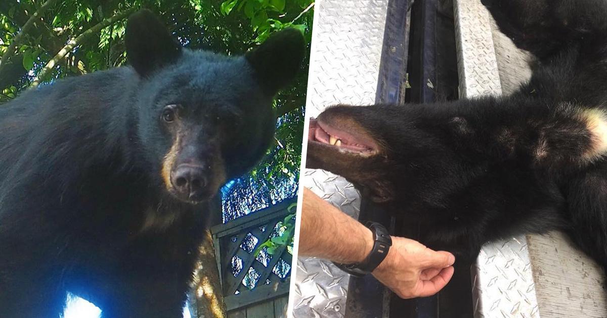Un ours noir a été euthanasié après que des résidents lui aient laissé de la nourriture pour pouvoir le filmer