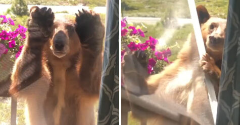 Un ours qui visite une maison ne comprend pas pourquoi il n'a pas le droit d'entrer