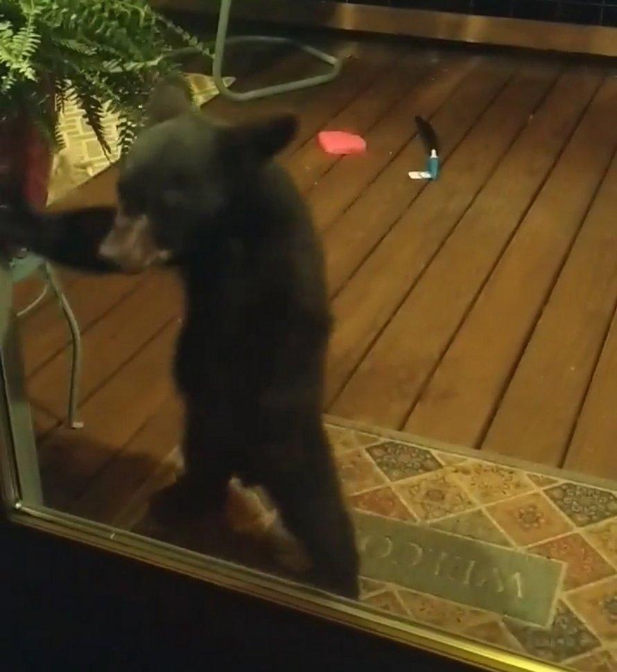 Maman ourse gronde son petit pour avoir espionné des gens par la fenêtre et la vidéo devient virale