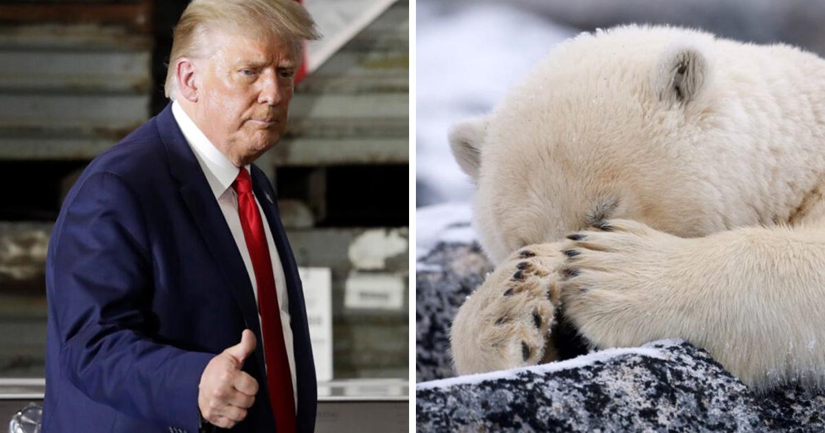Le plan de forage «irresponsable» de Trump dans l'Arctique pourrait tuer les ours polaires de la région, selon des experts