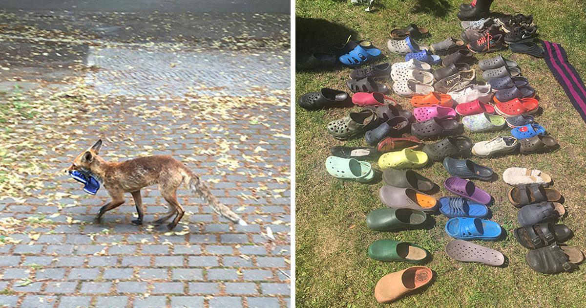 Un renard voleur de Crocs a été trouvé avec une collection de 100 chaussures volées à Berlin