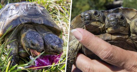 Cette tortue à deux têtes qui aura bientôt 23 ans est considérée comme la plus vieille du genre