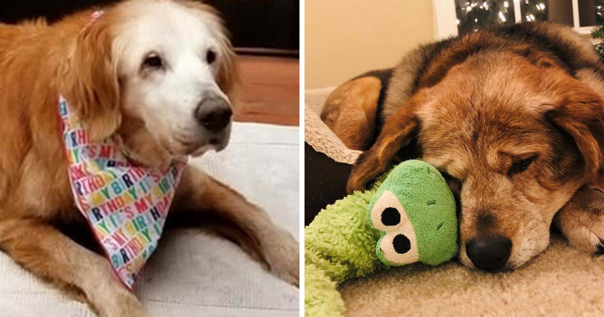 Ces photos sympas de vieux chiens montrent que les toutous âgés sont trop mignons pour ce monde