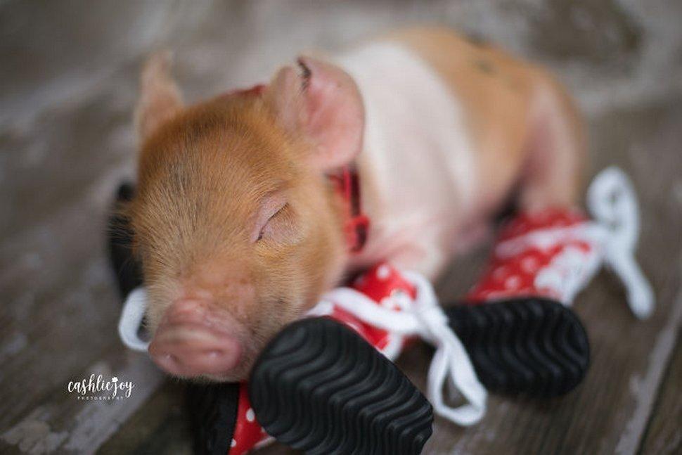 Une photographe réalise une séance photo de nouveau-né avec un bébé porcelet parce que le monde a besoin de plus de tendresse