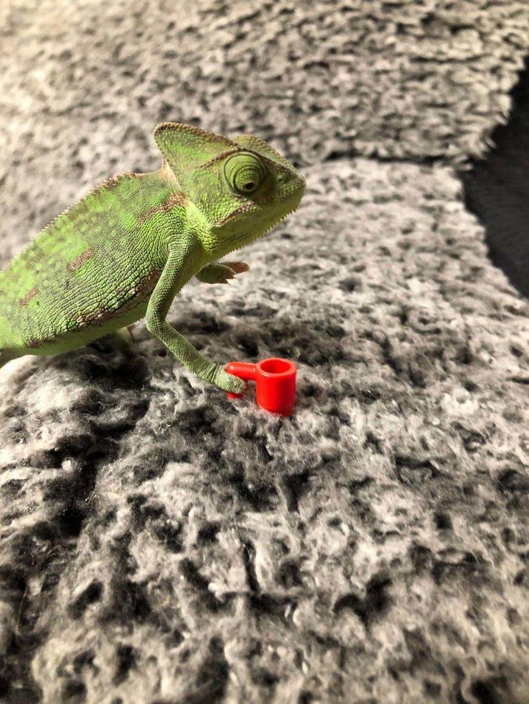 Ce caméléon a la taille parfaite pour les accessoires LEGO et voici les 9 meilleures photos de lui