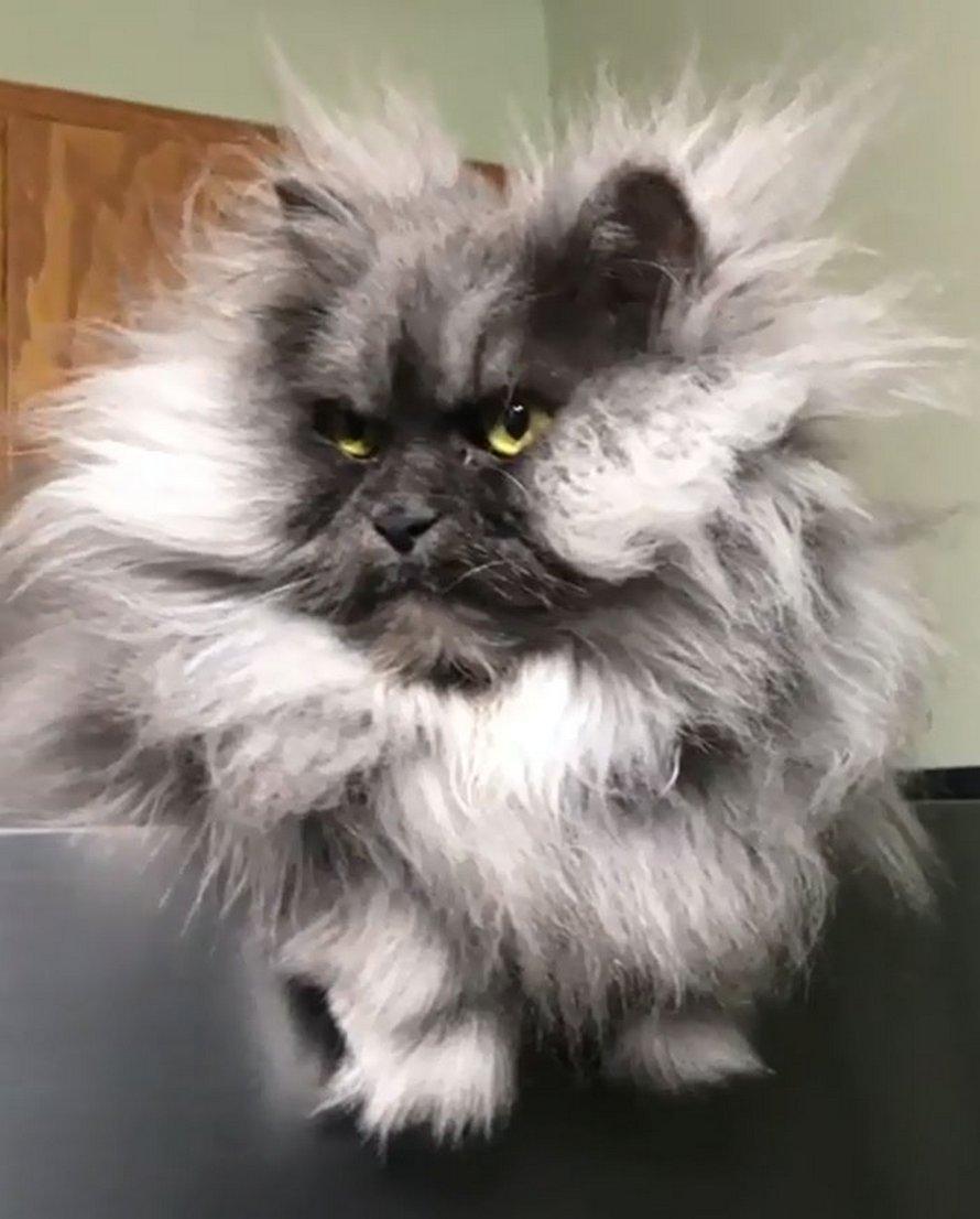 Voici Juno, le chat qui a une plus belle chevelure que nous tous