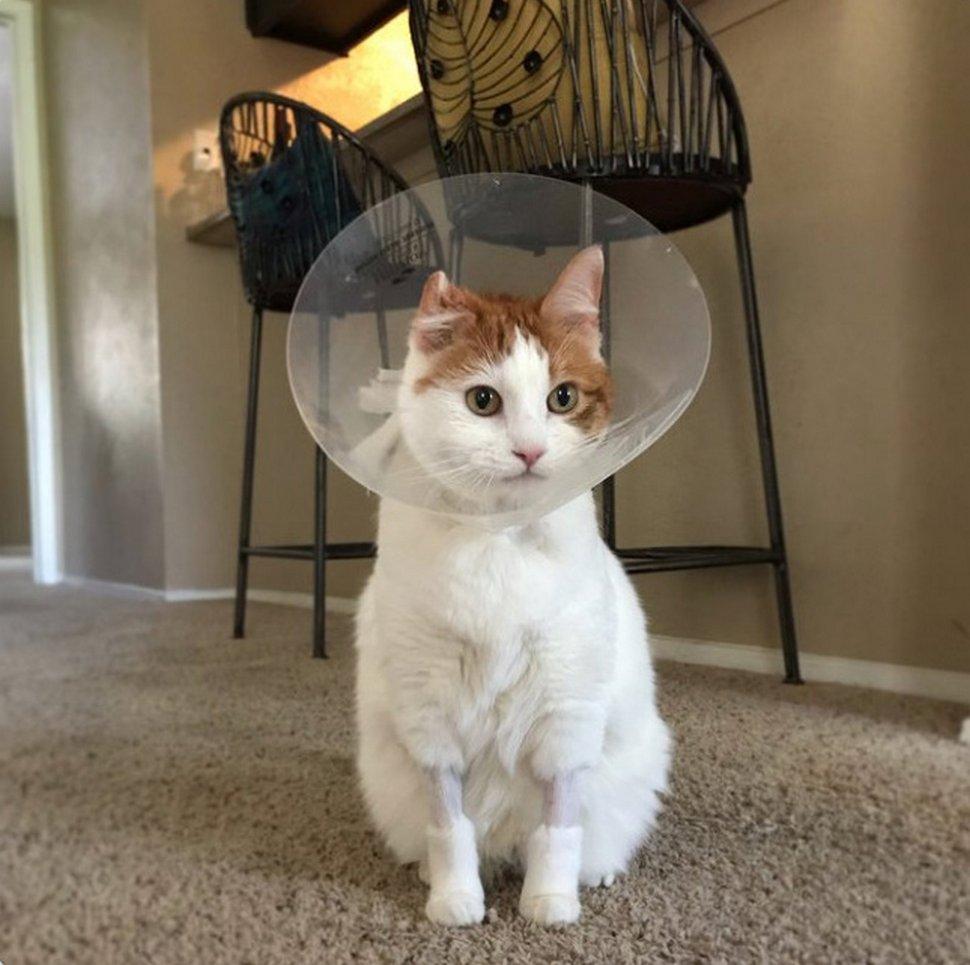 Ces chats ont eu de drôles de coupes chez le vétérinaire pour une opération