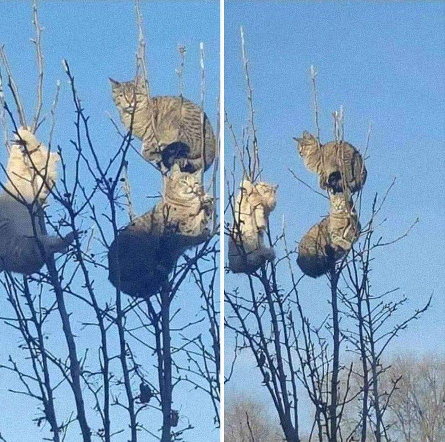 Ces oiseaux ressemblent étrangement à des chats ! By Ipnoze.com Chats-perches-dans-arbres-comme-oiseaux-05