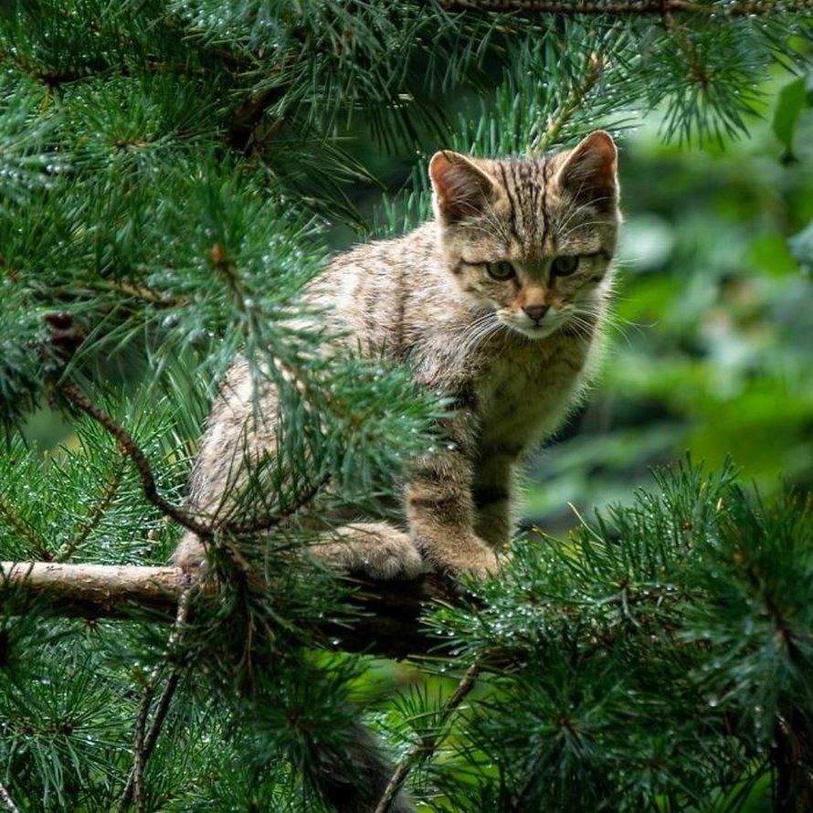 Ces oiseaux ressemblent étrangement à des chats ! By Ipnoze.com Chats-perches-dans-arbres-comme-oiseaux-16