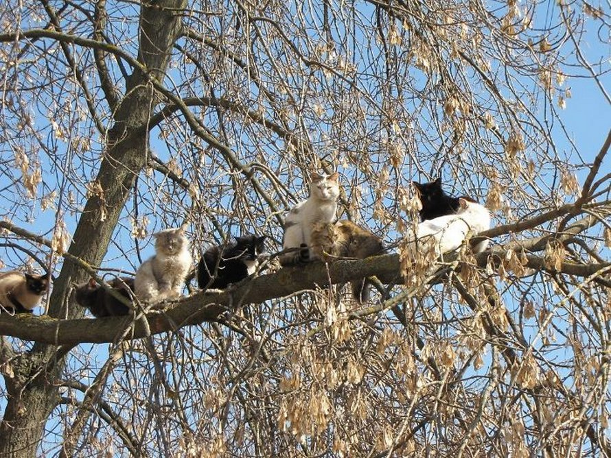 Ces oiseaux ressemblent étrangement à des chats ! By Ipnoze.com Chats-perches-dans-arbres-comme-oiseaux-18