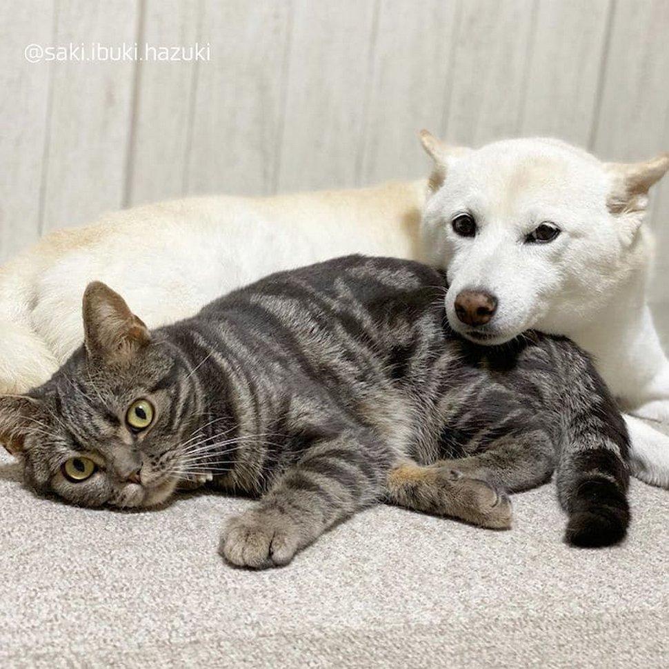 Voici Kiki, la chatte qui pense qu'elle est une chienne comme ses frères et soeurs shibas