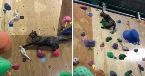 Une chatte qui travaille dans une salle d'escalade tente le coup et la vidéo devient virale