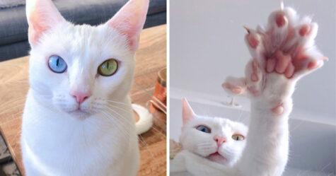 Cette chatte aux yeux de couleurs différentes et aux doigts en plus a été abandonnée par sa propriétaire