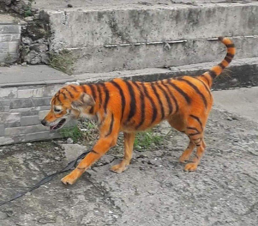 Ce chien errant a été peint pour ressembler à un tigre et les gens sont en colère