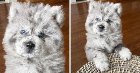 Ce chiot qui est devenu viral parce qu'il ressemblait à un «nuage Oreo» est en train de devenir le chien de 40 kilos qu'il était destiné à être