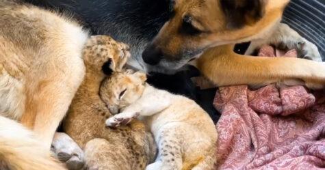 Une chienne berger allemand élève deux lionceaux après que leur mère biologique les ait rejetés