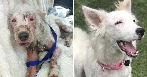 Cette chienne qui avait très peu de poils est maintenant toute blanche et pelucheuse