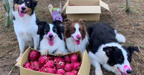 Des chiens observent la récolte des fruits, mais sont incapables de résister à la tentation de les manger