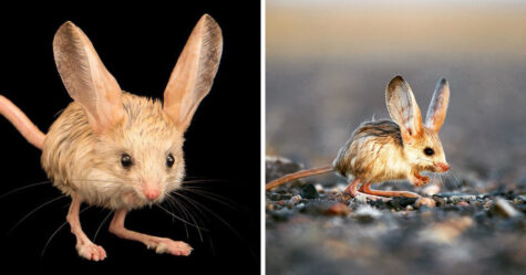 Cet adorable petit animal ressemble à un mélange entre une souris, un lapin, un cochon et un kangourou