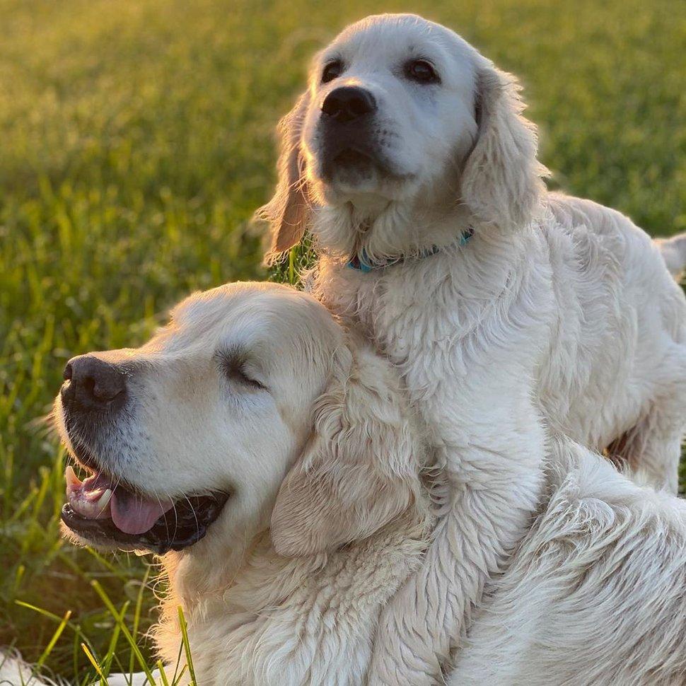 Un golden retriever aveugle obtient son propre chiot guide pour l'aider à se déplacer