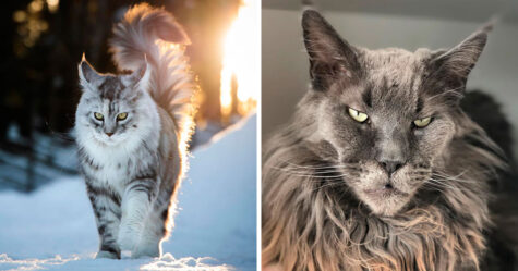 Ces Maine coons majestueux montrent à quel point cette race de chat est unique