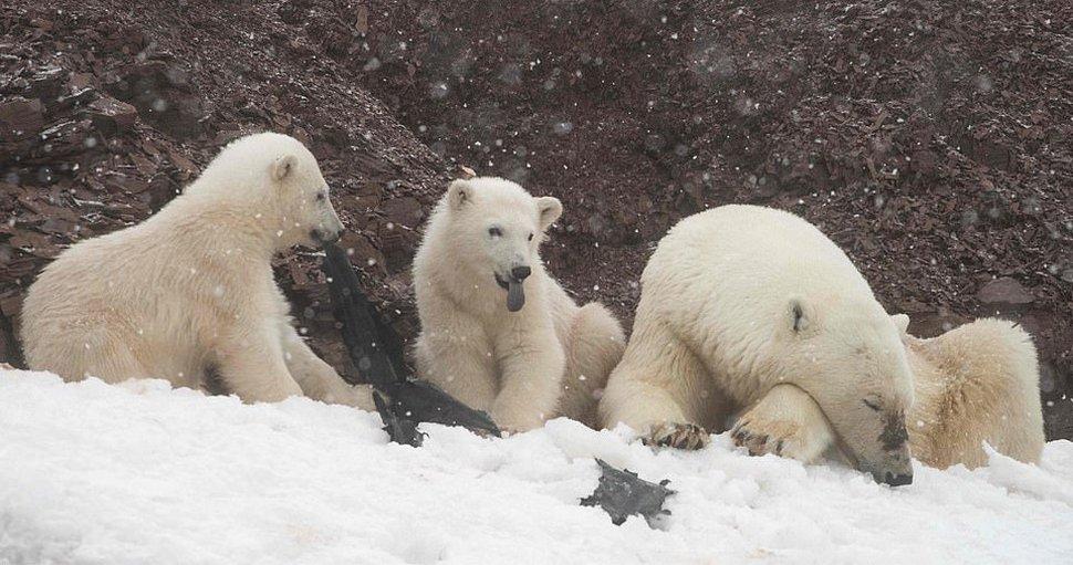 Des clichés déchirants montrent des ours polaires affamés qui mâchent un sac en plastique