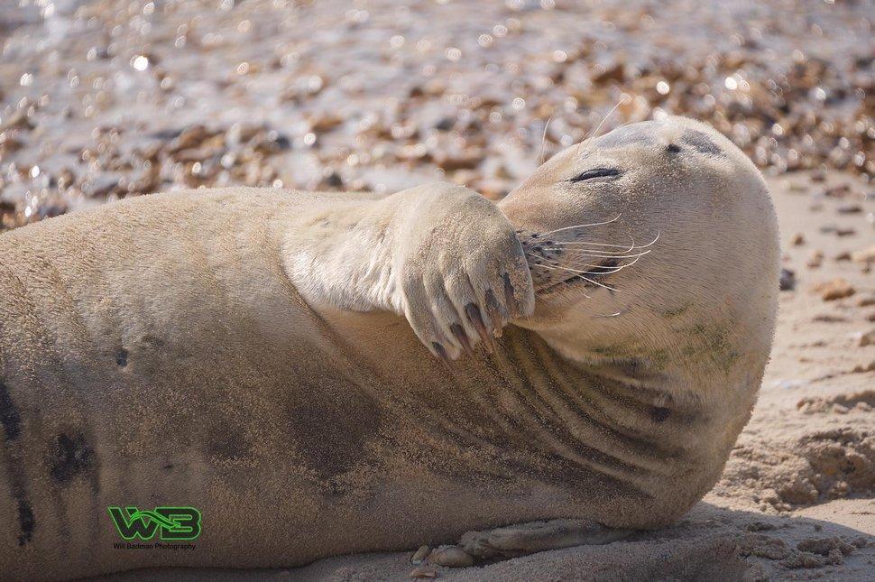 Ce phoque sauvage est tellement sociable qu'il se fait un tas d'amis humains à la plage