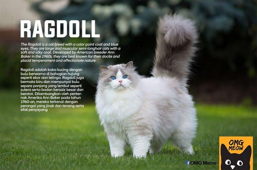 Voici certaines des races de chats les plus populaires et leurs origines