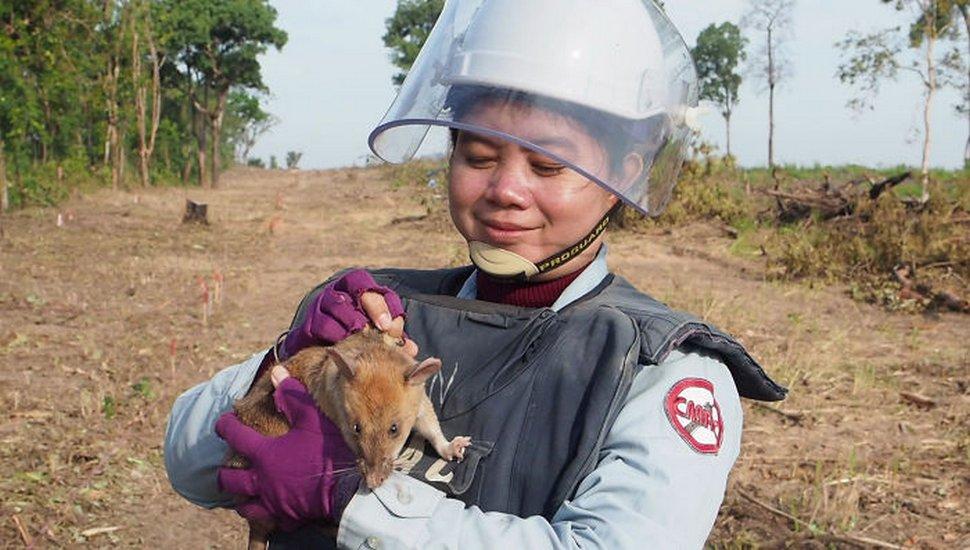 Voici Magawa, le rat démineur qui vient de recevoir la médaille d'or PSDA pour sa bravoure exceptionnelle