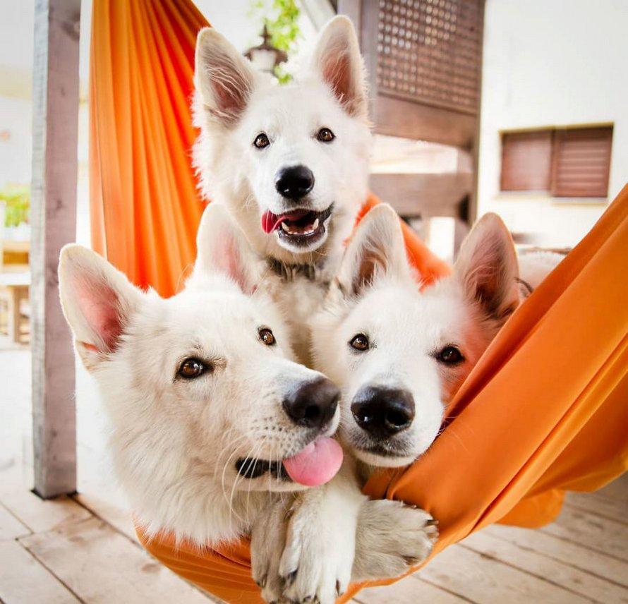 Une séance photo de trois chiens avec des tournesols tourne à la folie lorsqu'ils découvrent le goût des fleurs