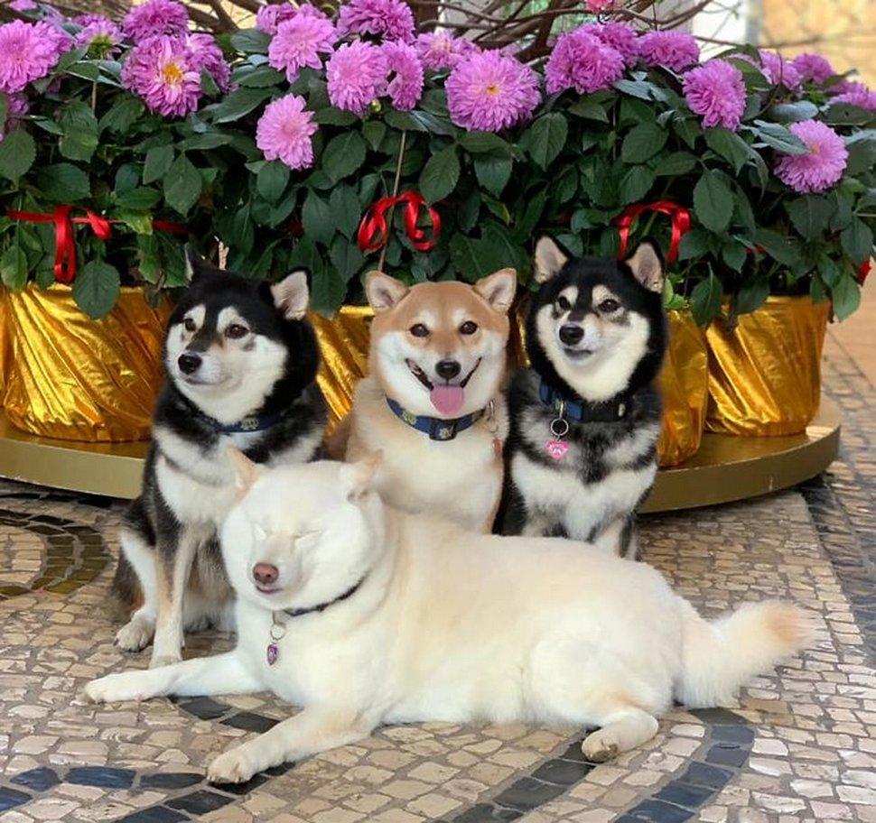 «On a tous un ami comme lui» : un shiba ruine constamment les photos de groupe et devient viral