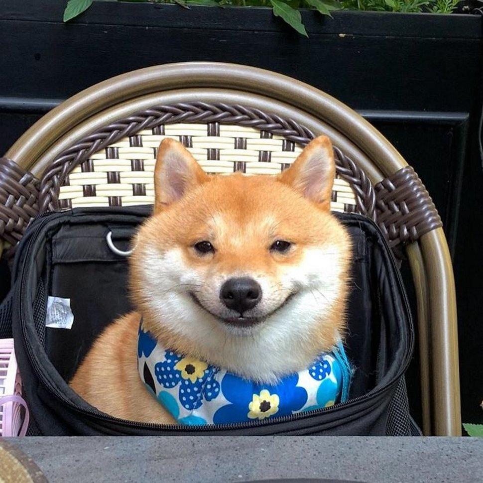 Ce shiba est devenu viral pour son sourire, surtout après avoir vu de la nourriture