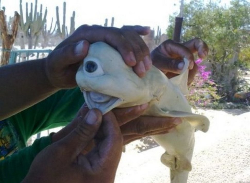 Des pêcheurs n'en croyaient pas leurs yeux après avoir capturé un bébé requin albinos à un oeil