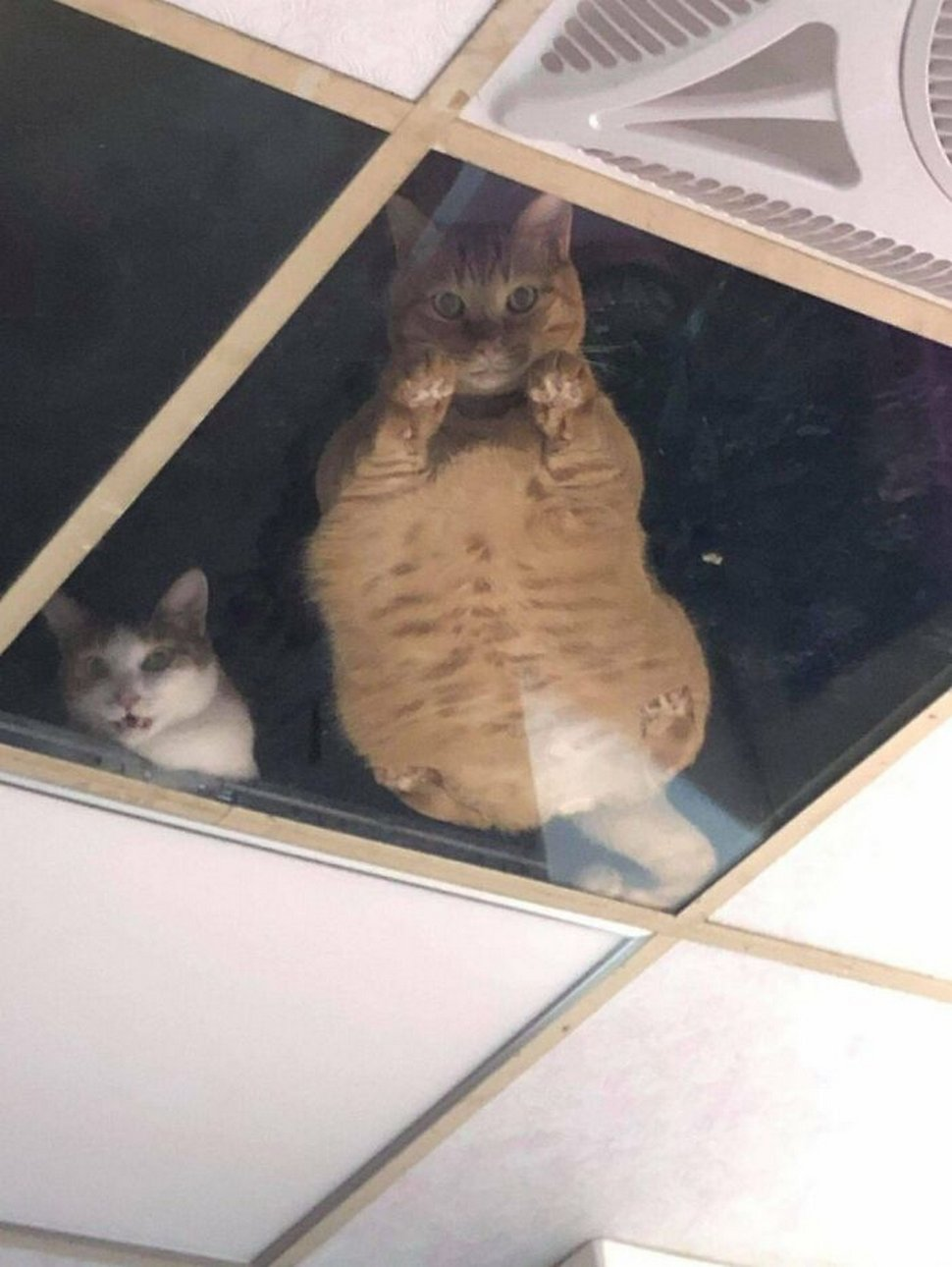 Ce commerçant a installé des carreaux de verre au plafond pour ses chats et ils n'arrêtent pas de l'espionner
